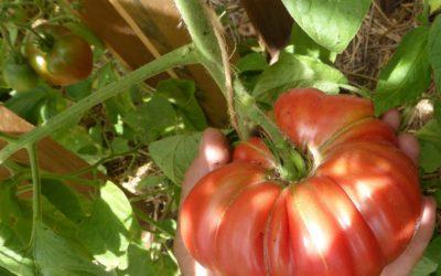 Plantations de tomates au jardin potager