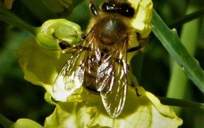 Belle petite abeille transporteuse de miel