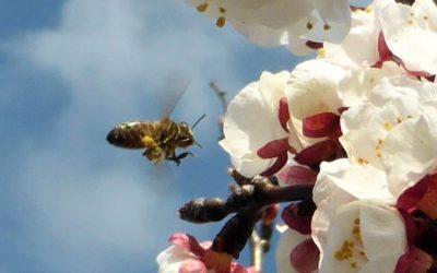 L'abricotier ou Prunus armeniaca
